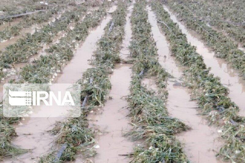 خسارت 147 میلیاردی باران به مزارع شادگان