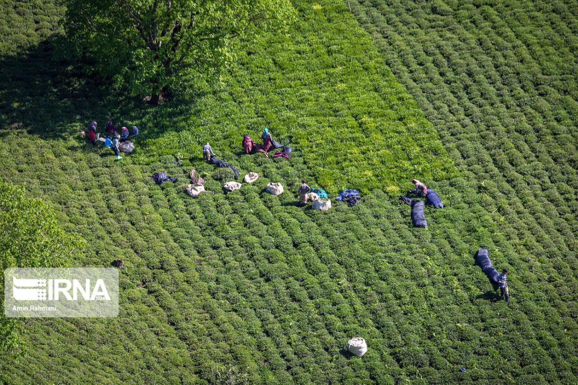 خبرنگاران بازگشت امید به باغهای چای شمال