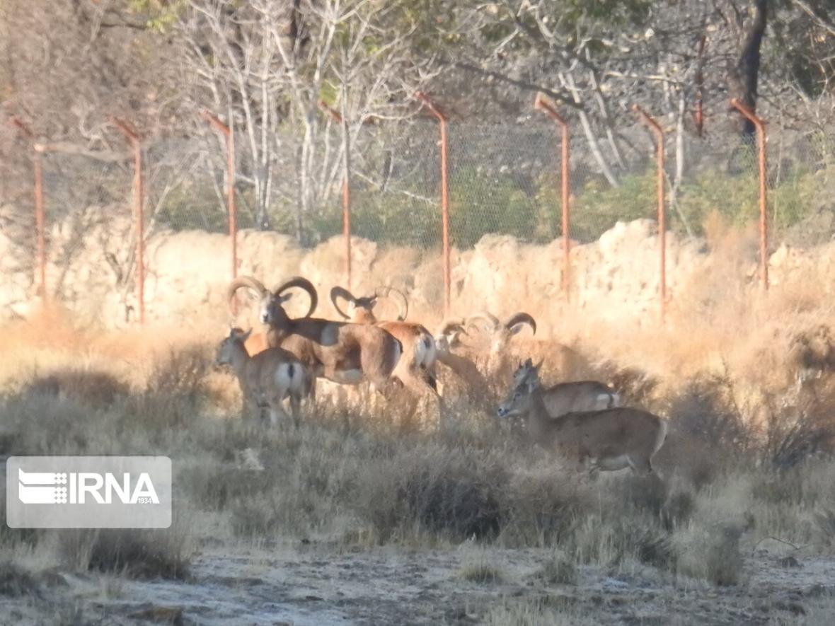 خبرنگاران سرشماری پستانداران علف&zwnjخوار در استان اردبیل آغاز شد