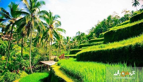 مزارع پلکانی برنج تگالالانگ ؛جاذبه مسحور کننده بالی