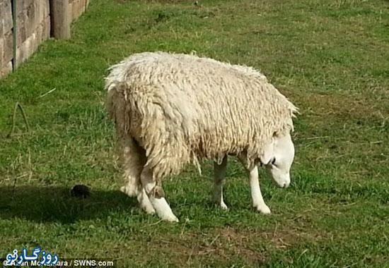 عجیب ترین گوسفند جهان